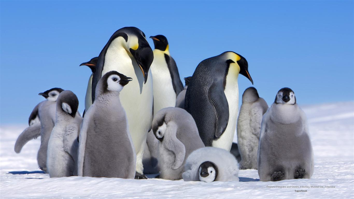 皇帝ペンギンの赤ちゃん 動物のhdの壁紙プレビュー 10wallpaper Com