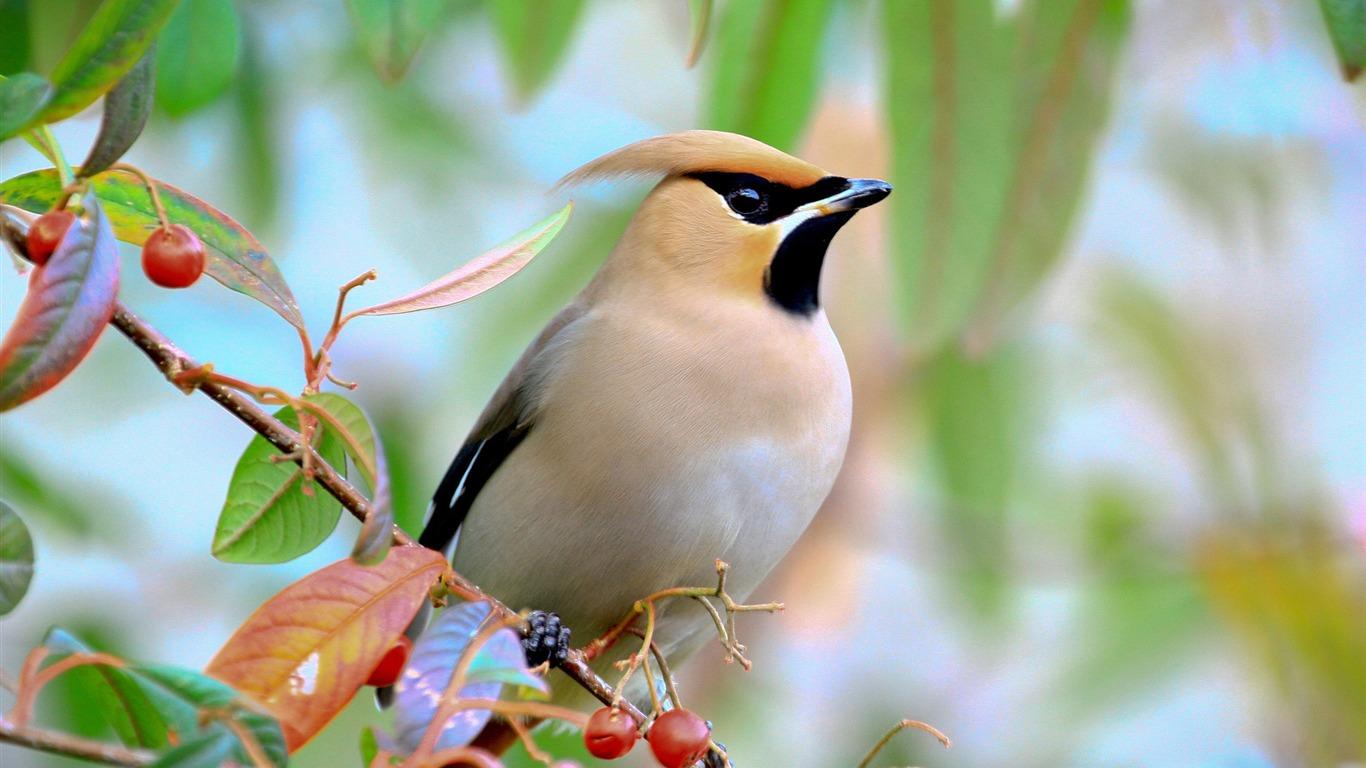 Oiseau Sur La Branche Aux Baies Animaux Fond D Ecran Hd