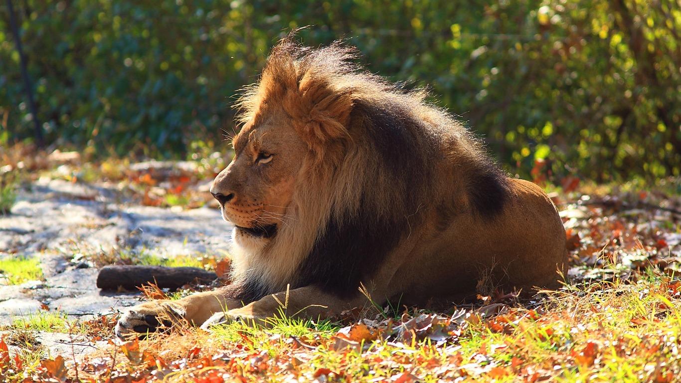 Lion Predator Feuillage Dautomne Photographie Hd Fond D