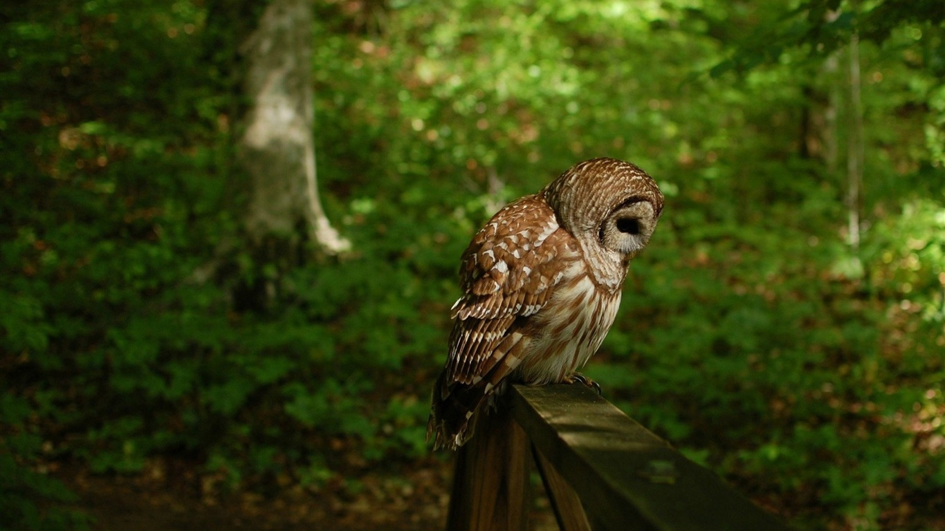 owl_bird_predator_forest-Photo_HD_Wallpaper2015.10.29