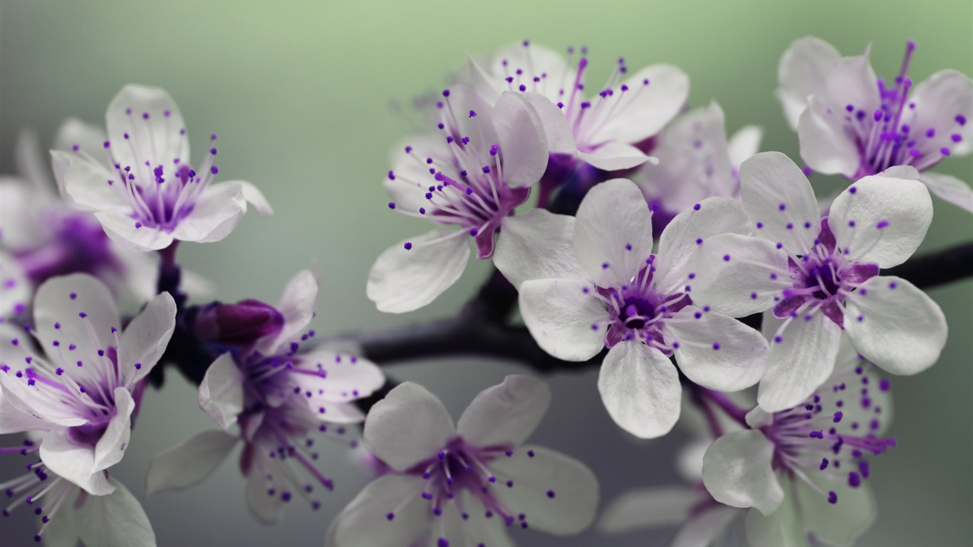 Purple_flowering_cherry_spring-High_Quality_HD_Wallpaper2015.12.22