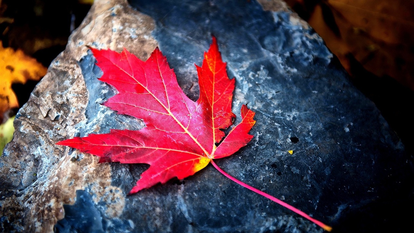 Autumn_red_leaf_stone-photography_HD_wallpaper2016.1.8
