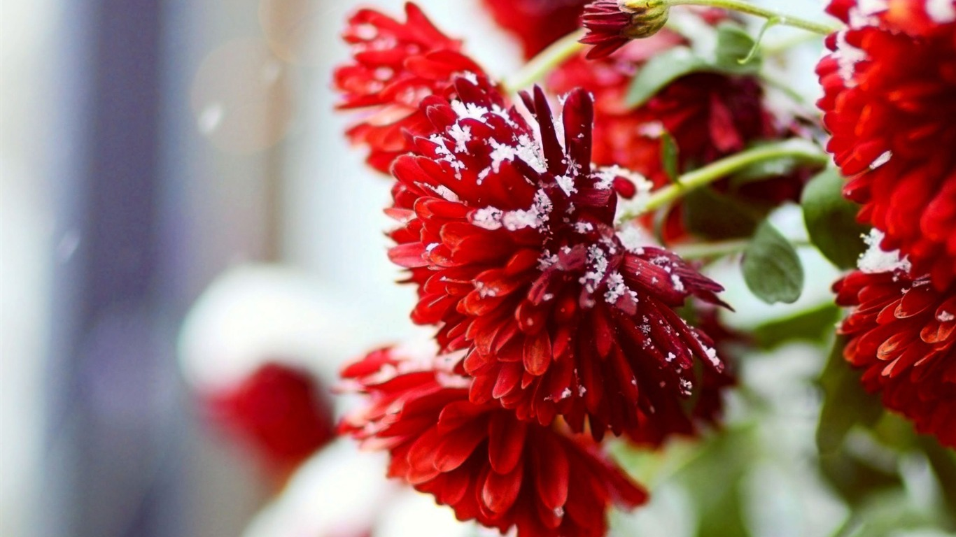 Snow_over_red_flowers-Winter_Close-up_HD_Wallpaper2016.2.3