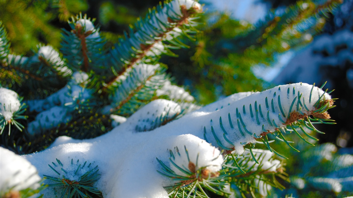 Snowy_blue_spruce-Winter_Close-up_HD_Wallpaper2016.2.3