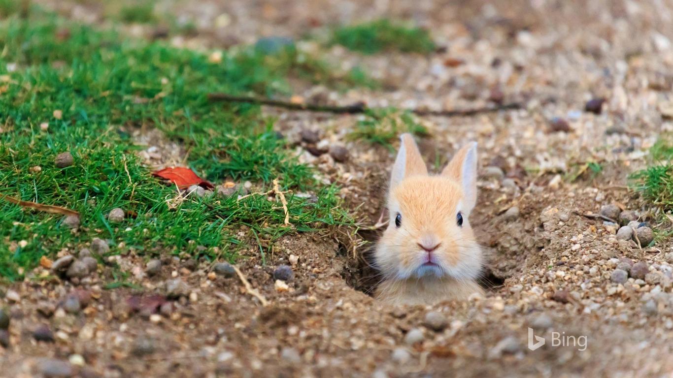 フェラル国内ウサギ大久野島島 2016 Bing 壁紙プレビュー