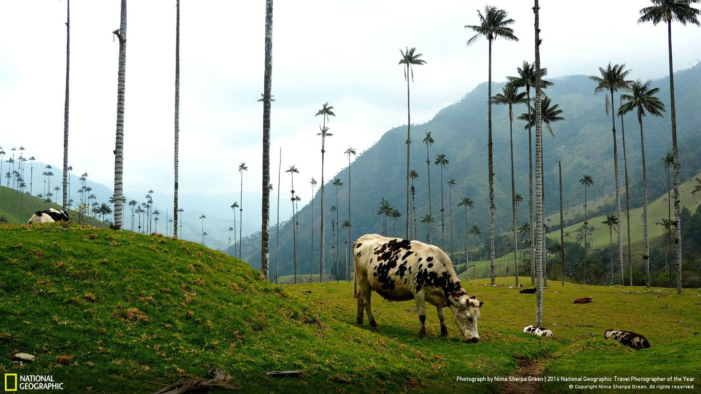 Vacas En Colombia 2016 National Geographic Wallpaper Avance