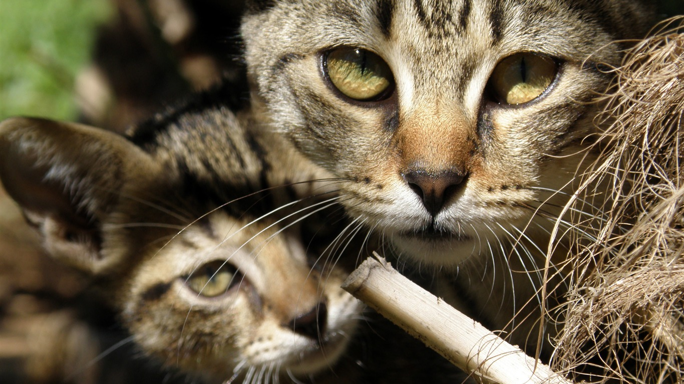 ivana_bilic_two_cats-Animal_High_Quality_Wallpaper