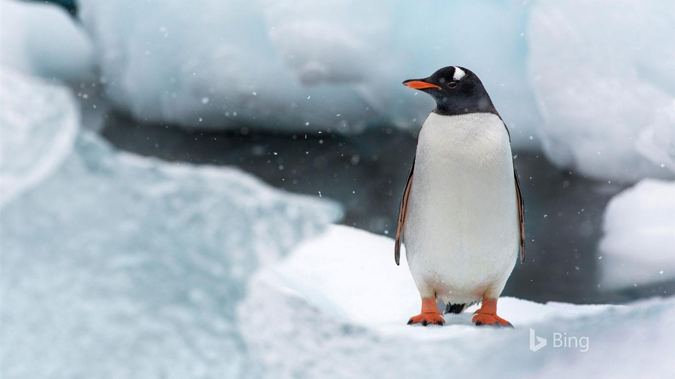 ジェンツーペンギン 南極 クーバービル島 Bingのデスクトップの壁紙