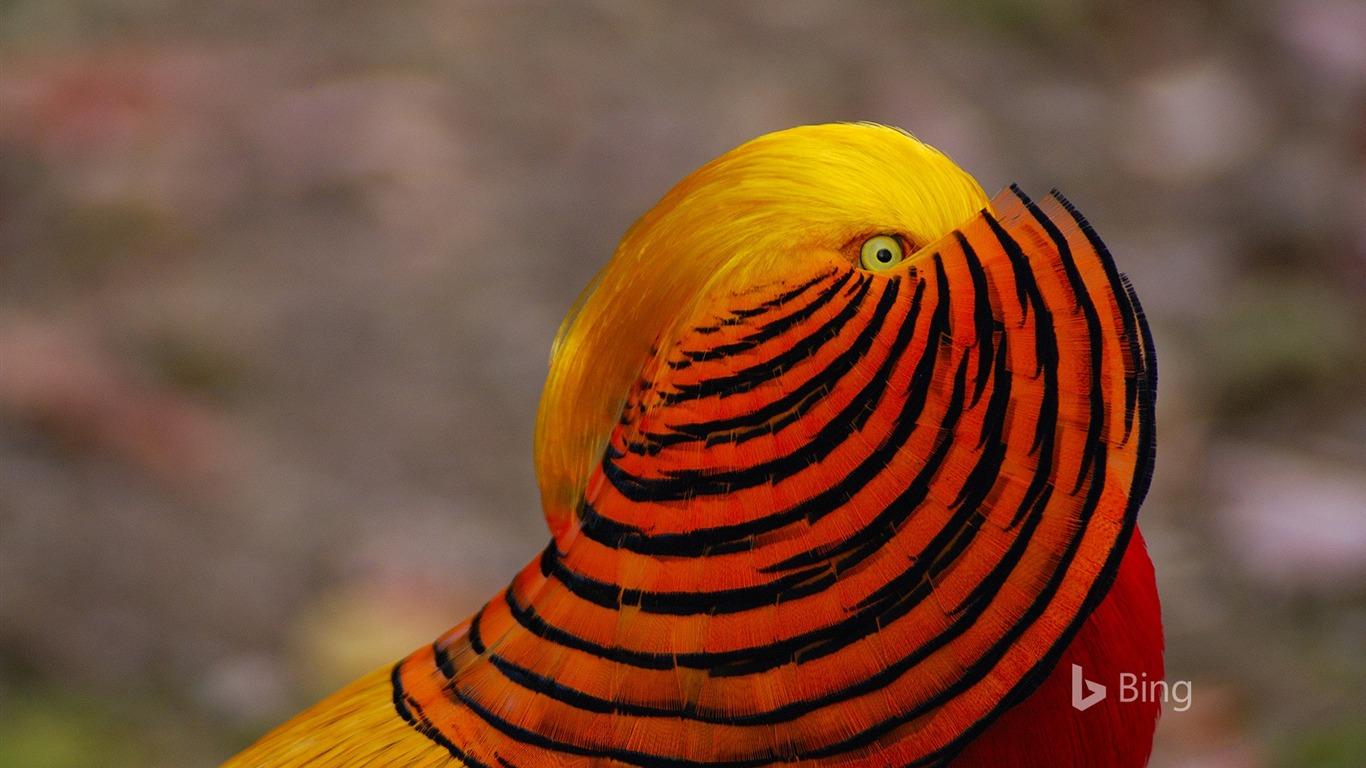 A Male Golden Pheasant 2017 Bing Desktop Wallpaper Preview
