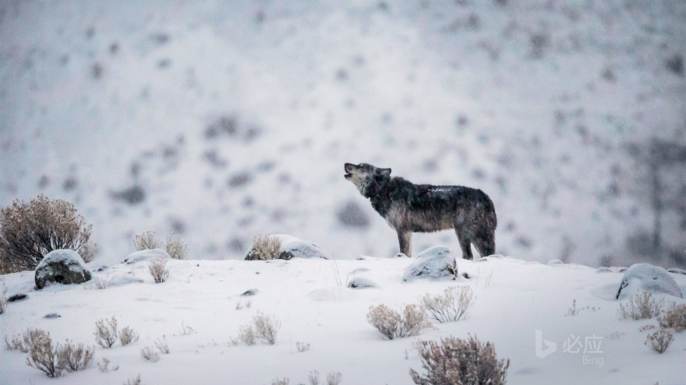 Wyoming A Gray Wolf In Yellowstone National Park 2017 Bing