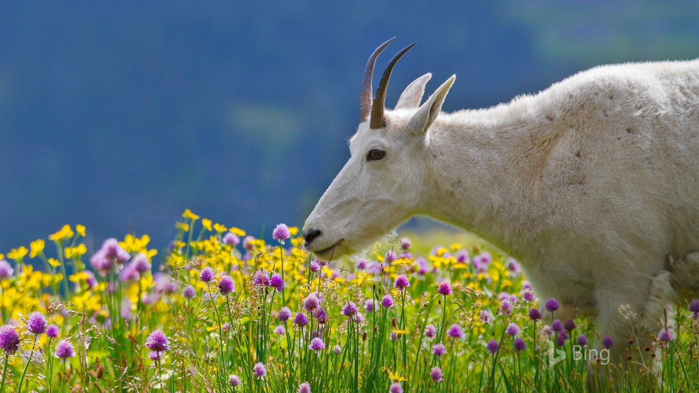 Montana A Mountain Goat In Glacier National Park 2017 Bing Desktop