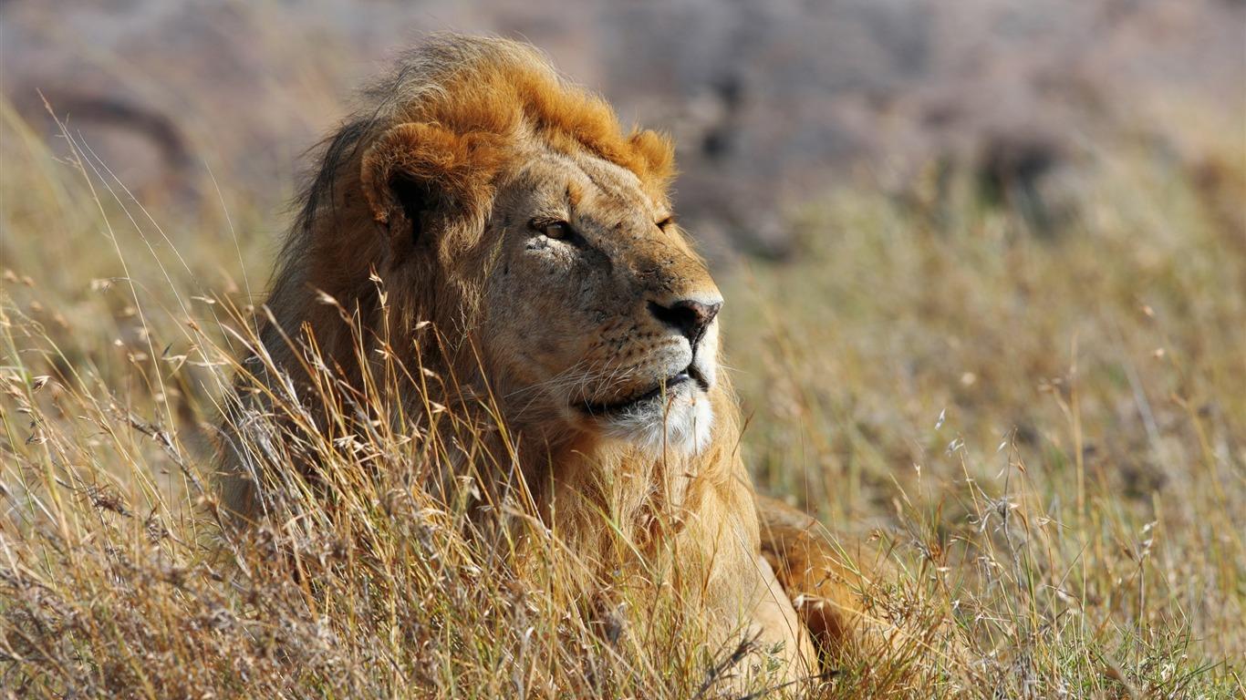 Lion Dafrique Grassland Fond Décran Hd 2017 Animaux Aperçu