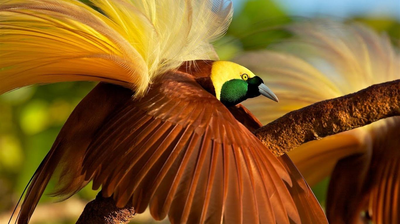 Oiseau De Paradis Fond D Ecran Hd 2017 Animaux Apercu