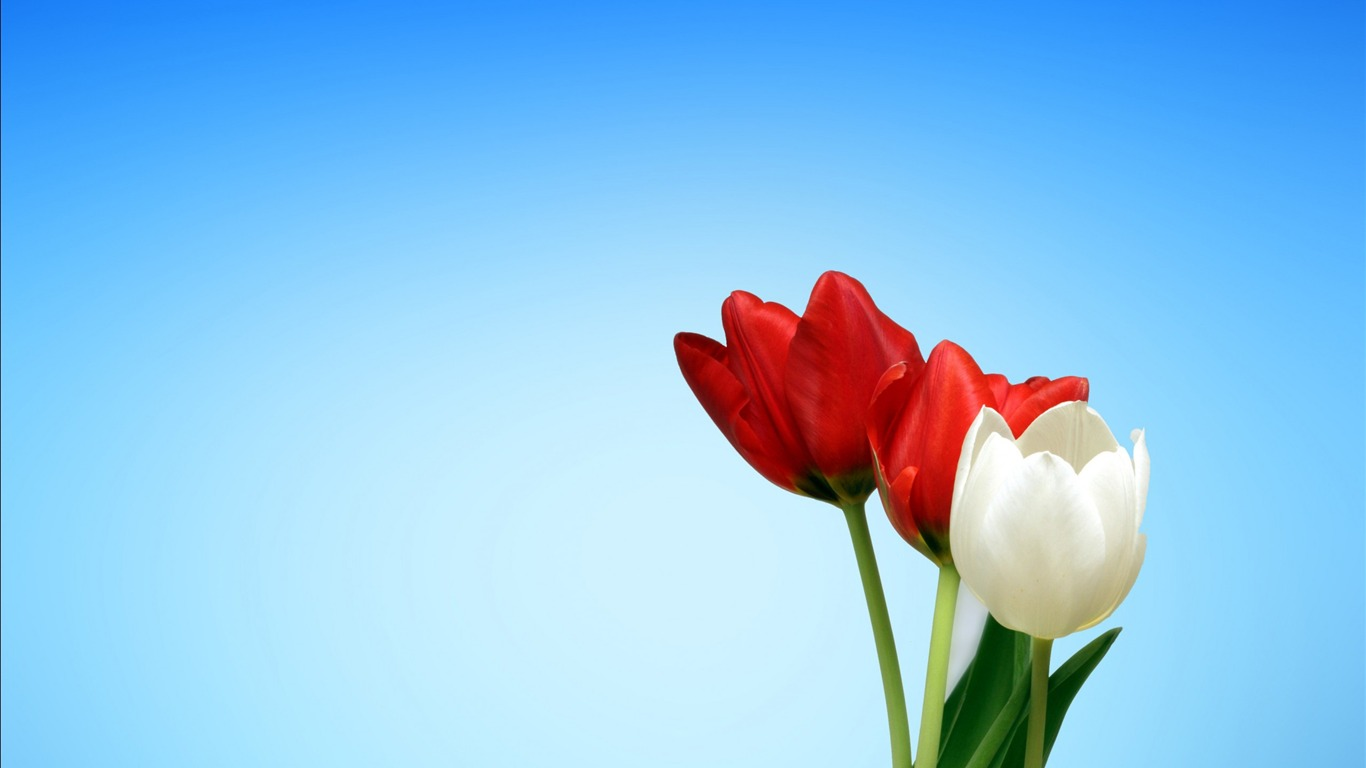Spring_red_white_tulips-2017_High_Quality_Wallpaper2017.8.22