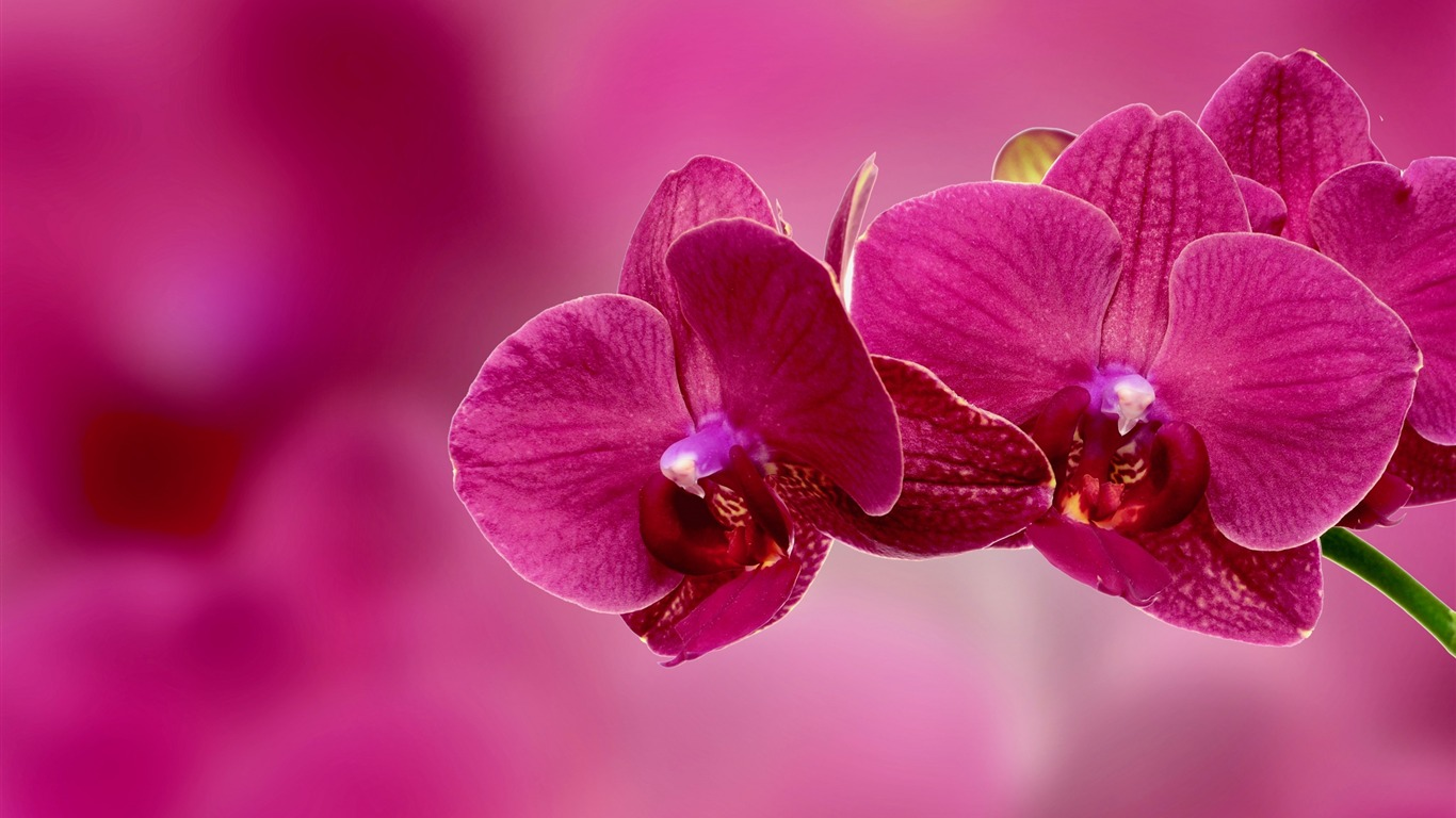 Pink Orchid Flower Petals Photo Hd Wallpaper Preview