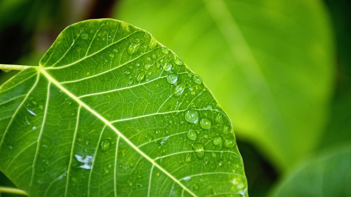 Dew Green Leaves Macro Nature Hd Wallpaper Preview