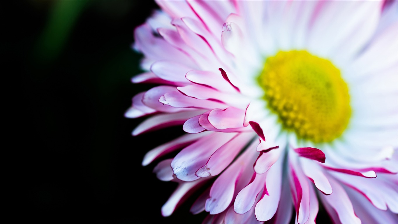 Pink Large Daisy Yellow Flower 2017 Flowers Hd Wallpaper Preview