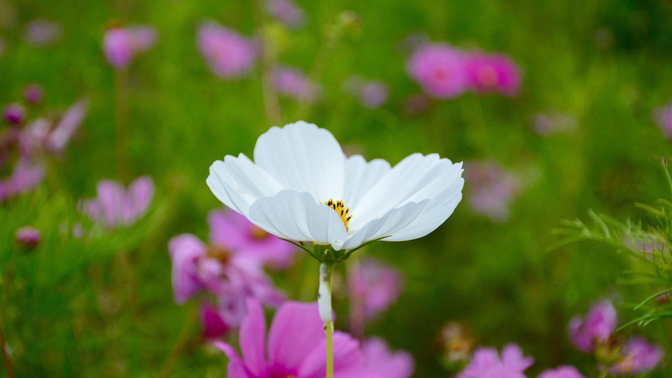White Poppy Field 2017 Flowers Hd Wallpaper Preview 10wallpaper