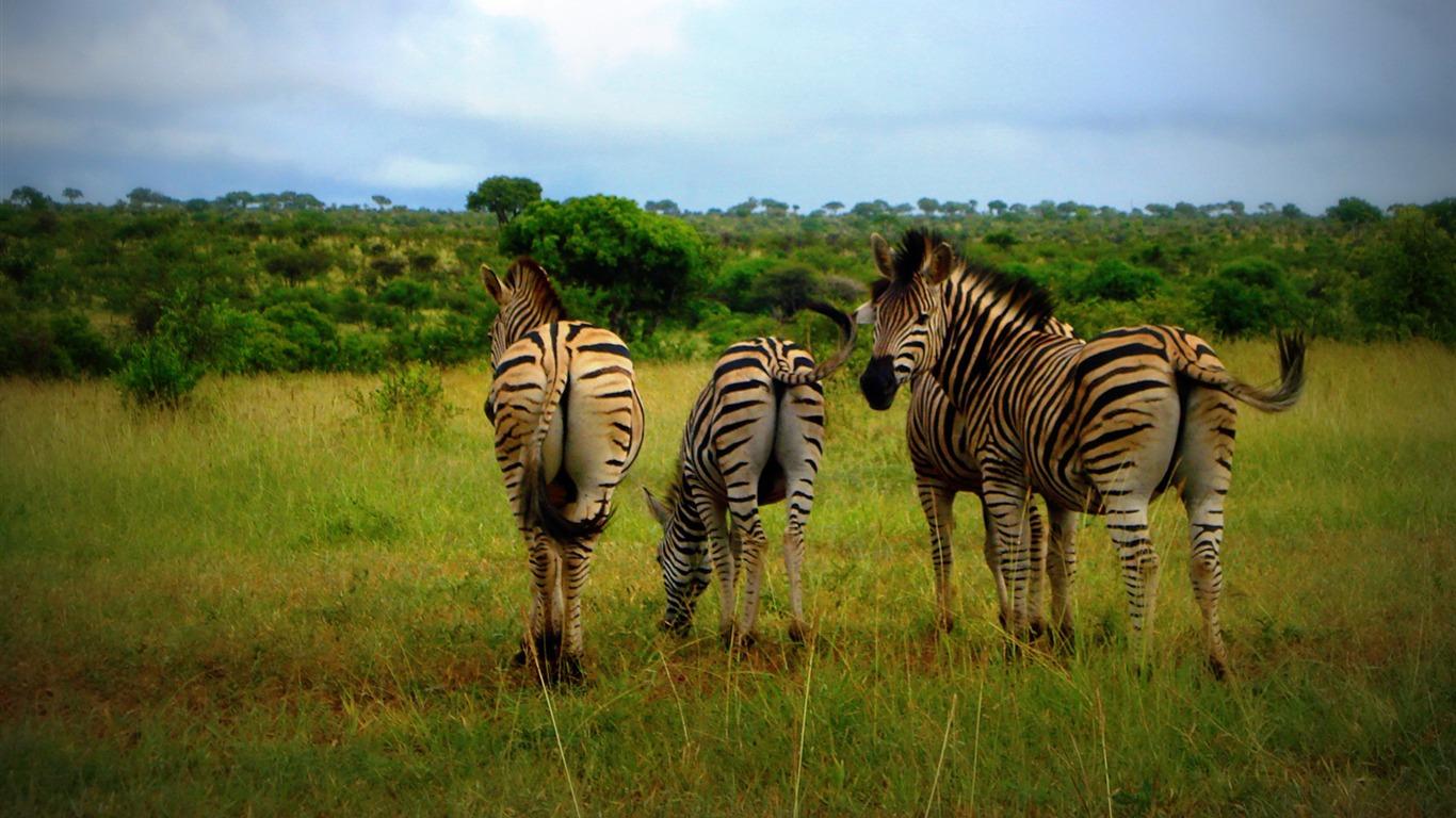 African grassland jungle wildlife zebra Preview ...