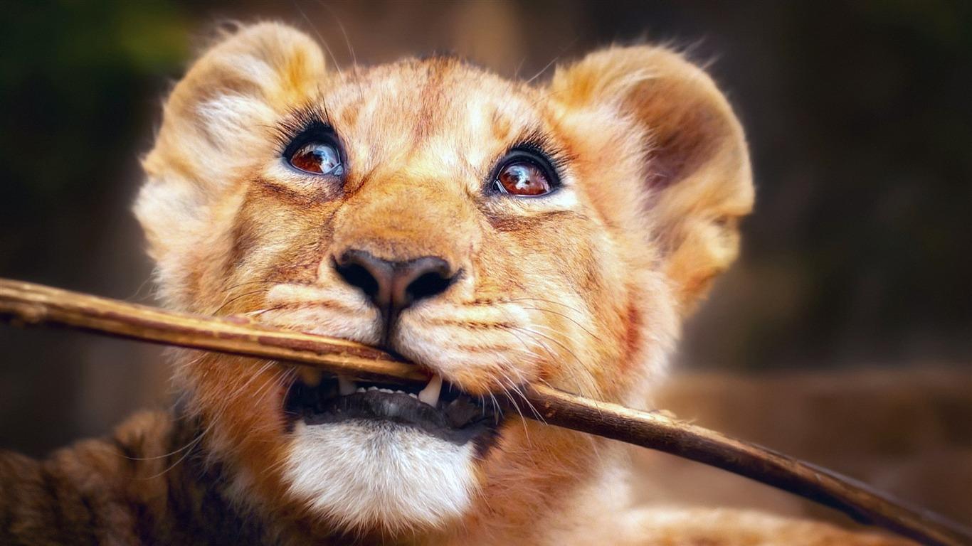 Drole Sauvage Animaux Lion Hd Photo Apercu 10wallpaper Com