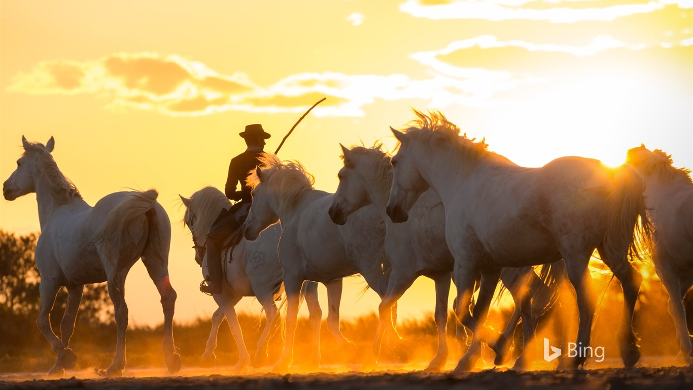 Cowboy Chevaux Sauvages Camargue France 2019 Bing