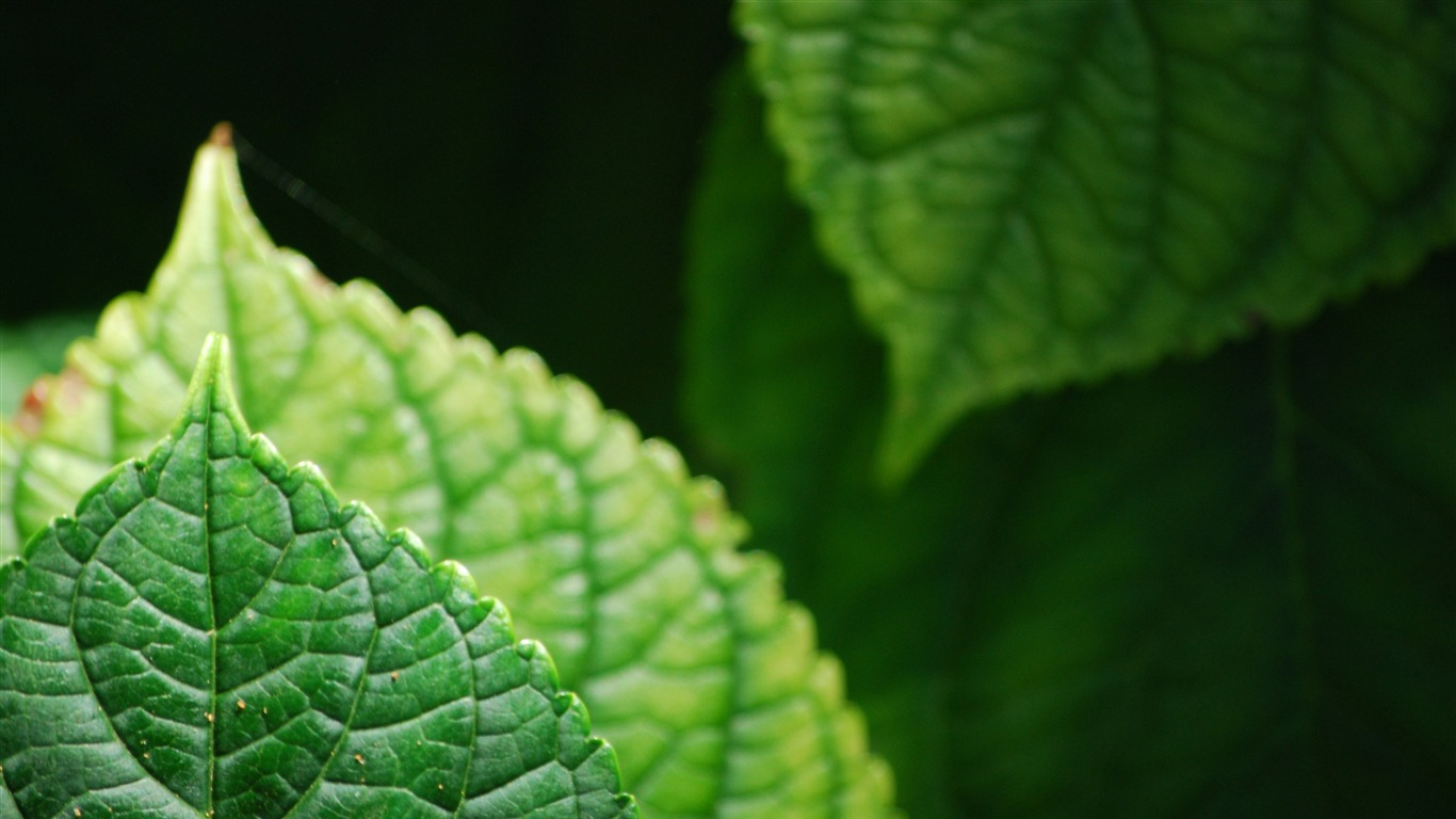 Green_pointy_healthy_leaves_2020_Nature_4K_Photo2020.12.12