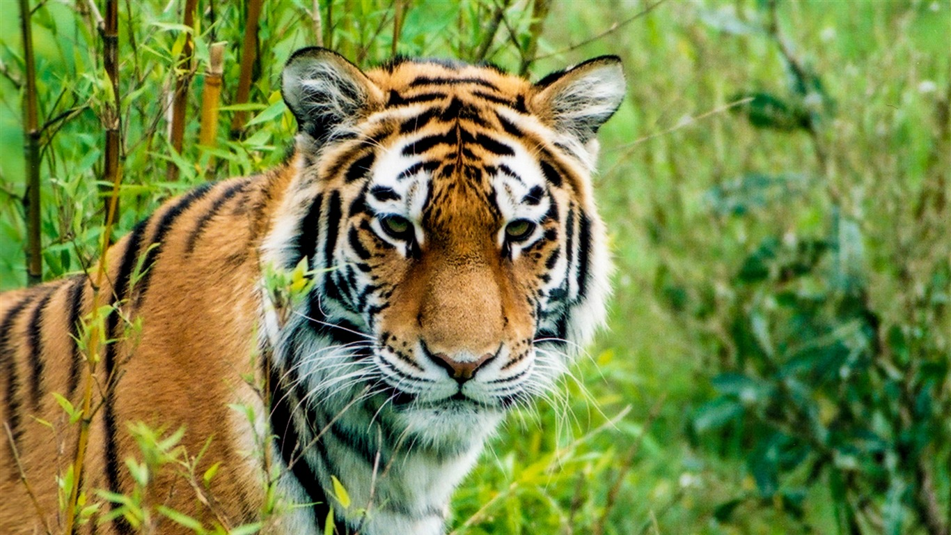 Siberian_Tiger_Predator_2020_Animal_HD_Photo2020.12.18