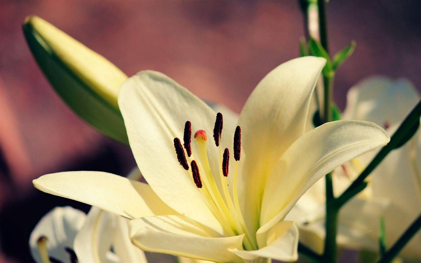 Lily Flower Core-Flowers Widescreen Wallpaper Preview