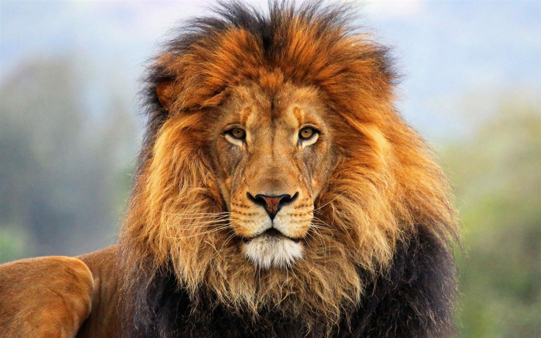 Face Eyes Lion Fur Mane Animal HD Wallpaper 1440x900