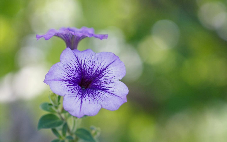 ボケ (植物)の画像 p1_27