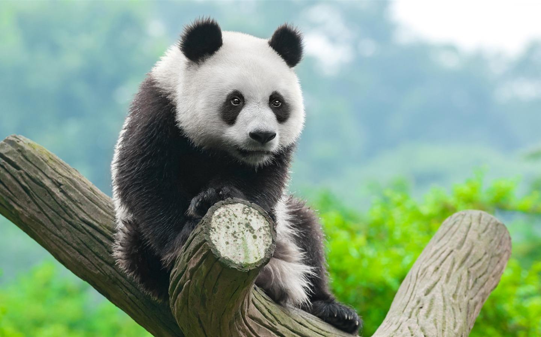 宠物图片_可爱的中国熊猫-2017动物高清壁纸预览 | 10wallpaper.com