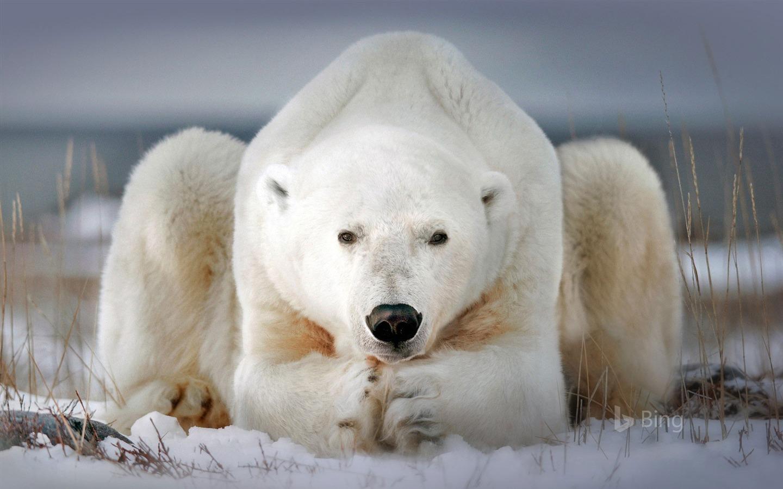 Polar Bear Churchill Manitoba Canada 2018 Bing Preview