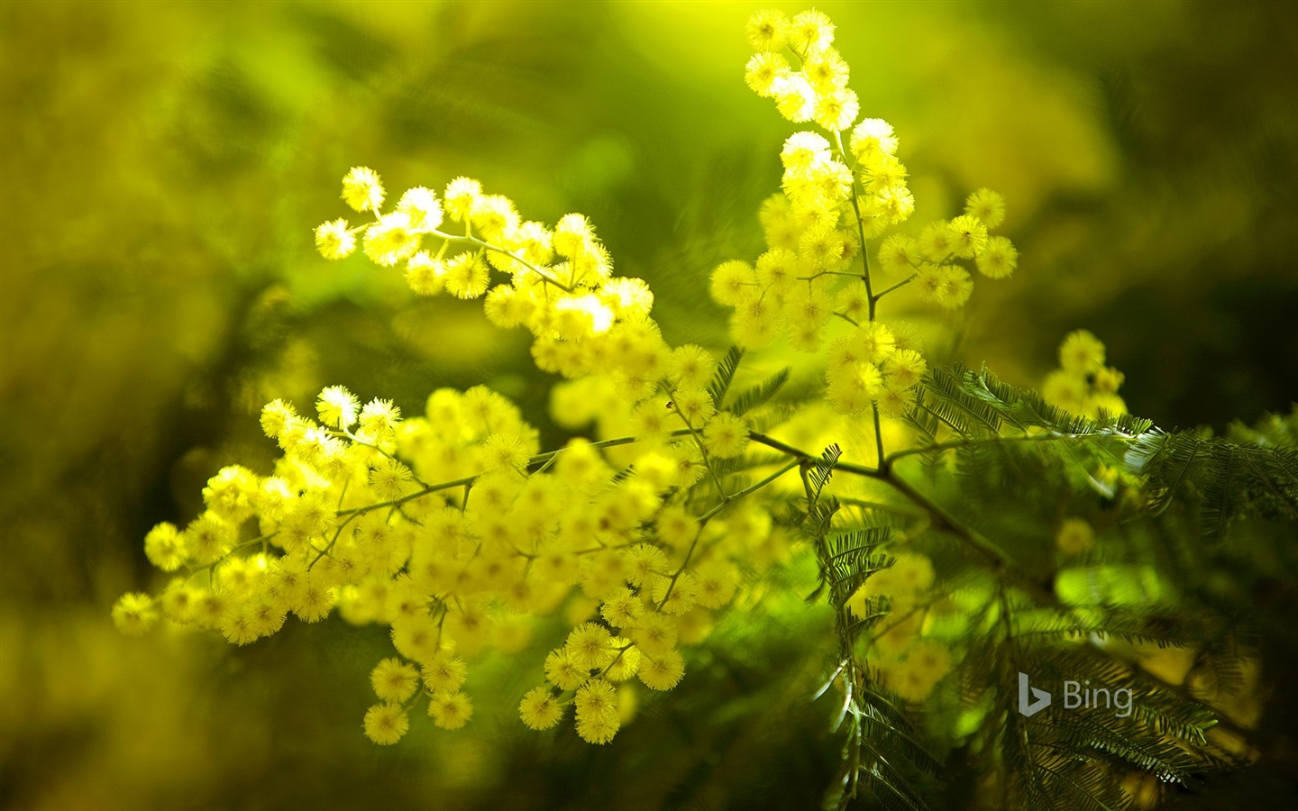 Yellow Mimosa Flowers France 2018 Bing Wallpaper Preview 10wallpaper Com