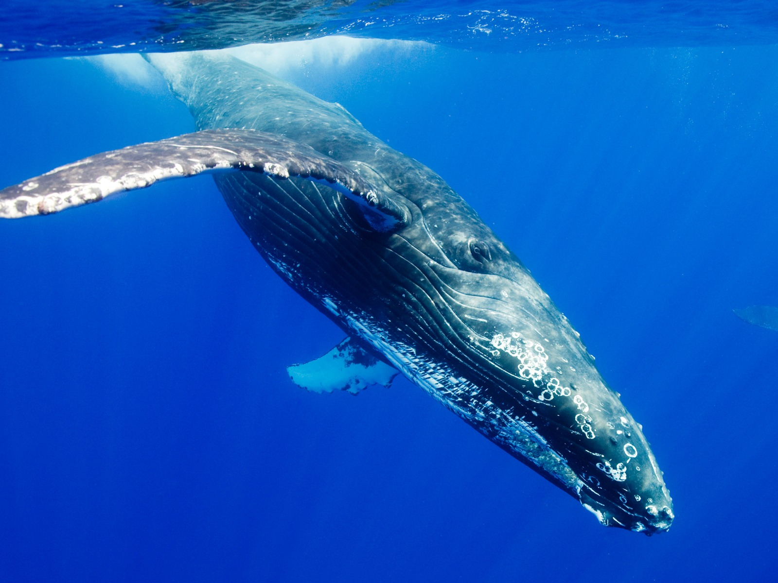 ザトウクジラの画像 p1_40
