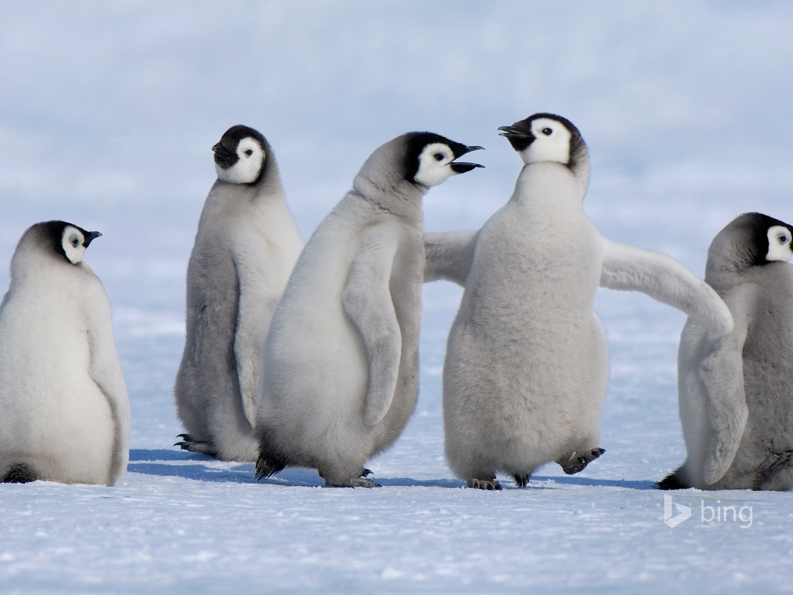 Glacier Penguin Animals 2015 Bing Theme Wallpaper Preview 10wallpaper Com