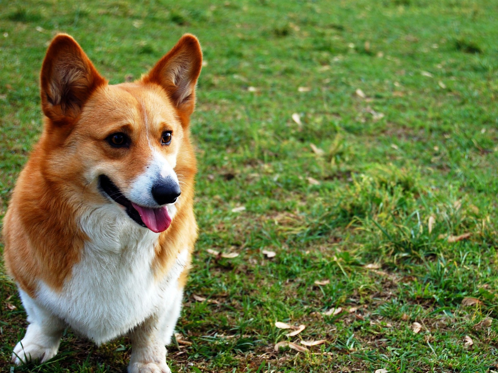 ウェルシュ コーギー犬の草 写真のhdの壁紙プレビュー 10wallpaper Com