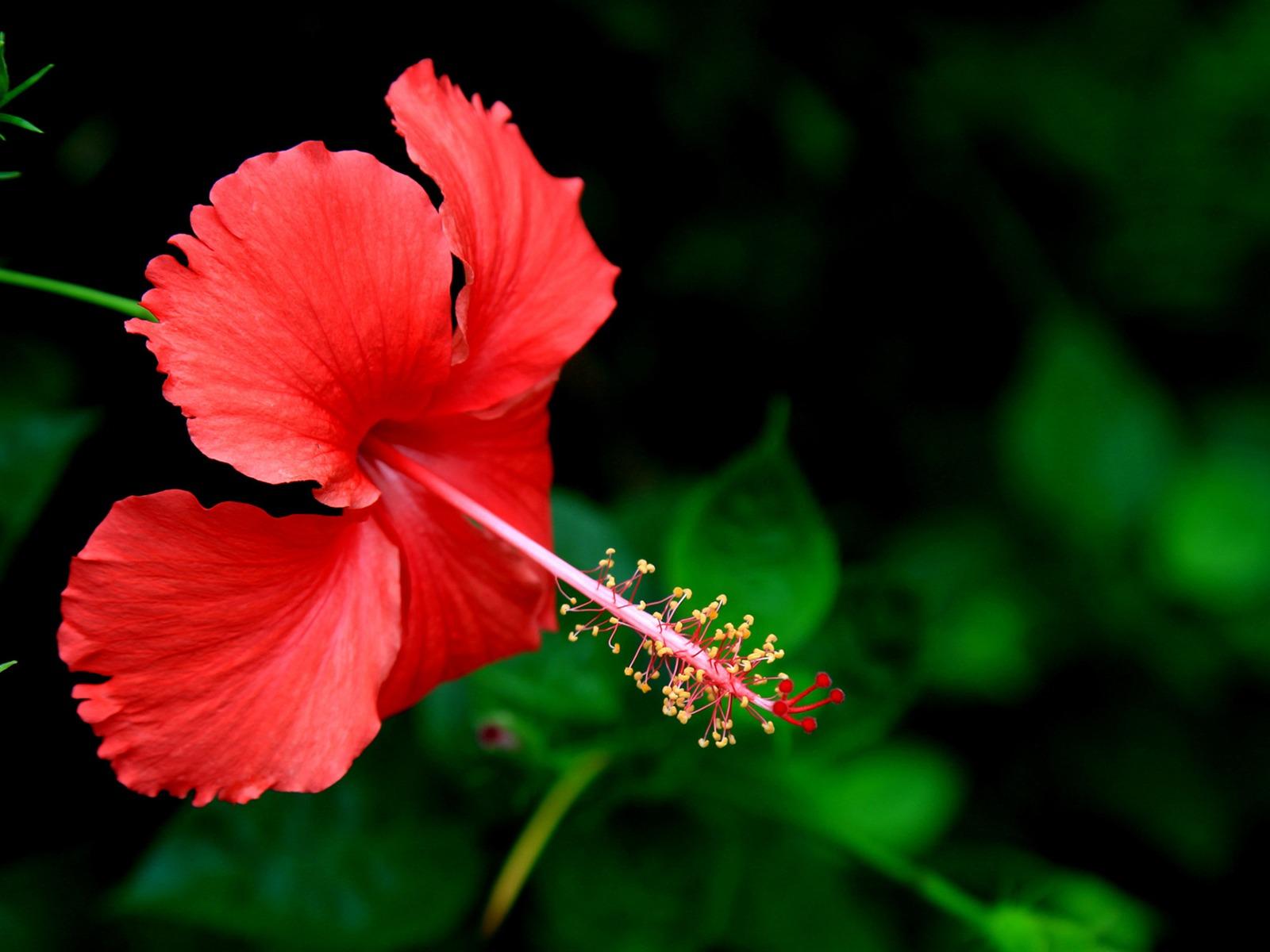 Papeis De Parede Lindos Da Hibiscus Flower Photo Hd Visualizacao 10wallpaper Com
