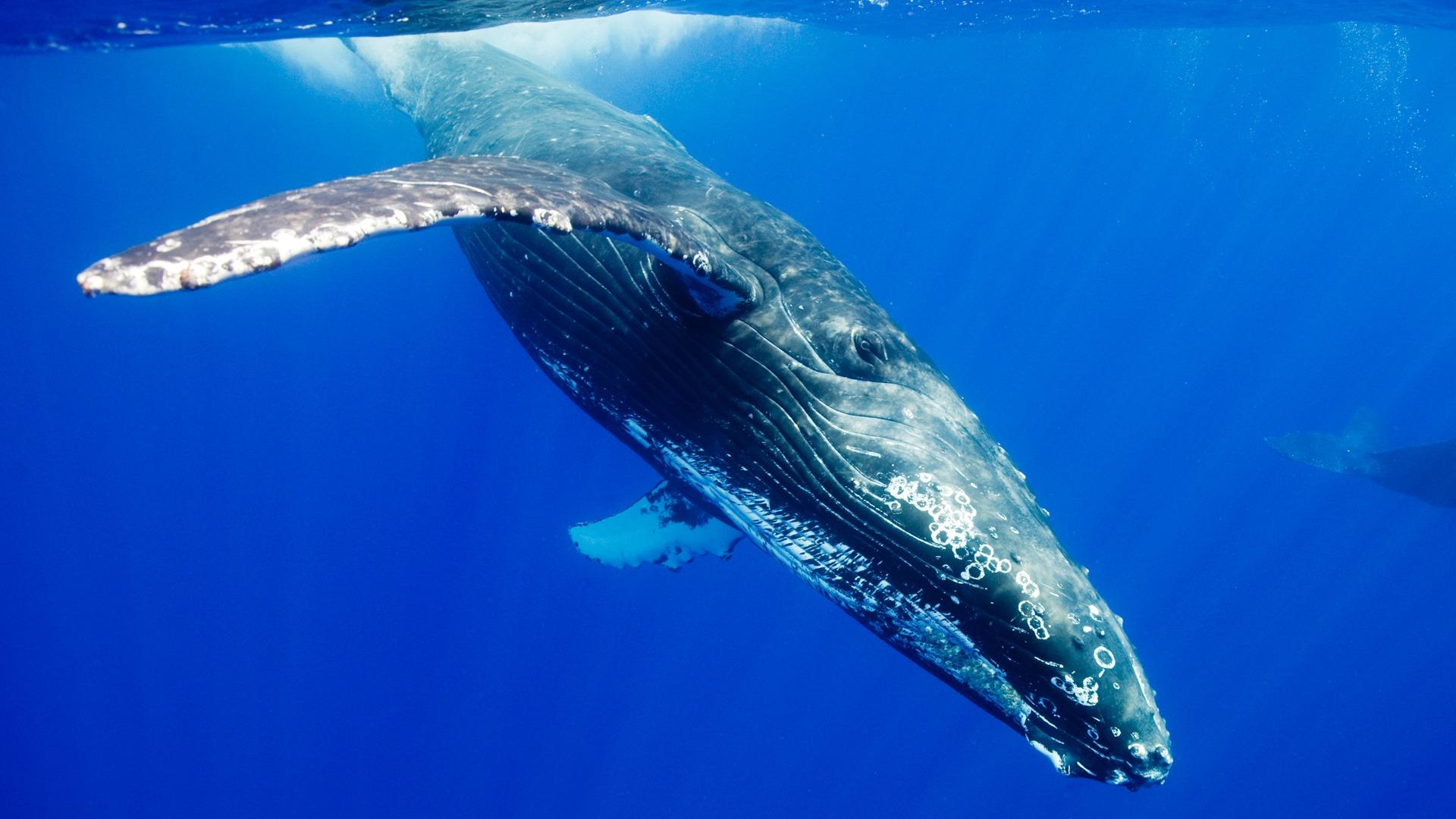 シロナガスクジラの画像 p1_36