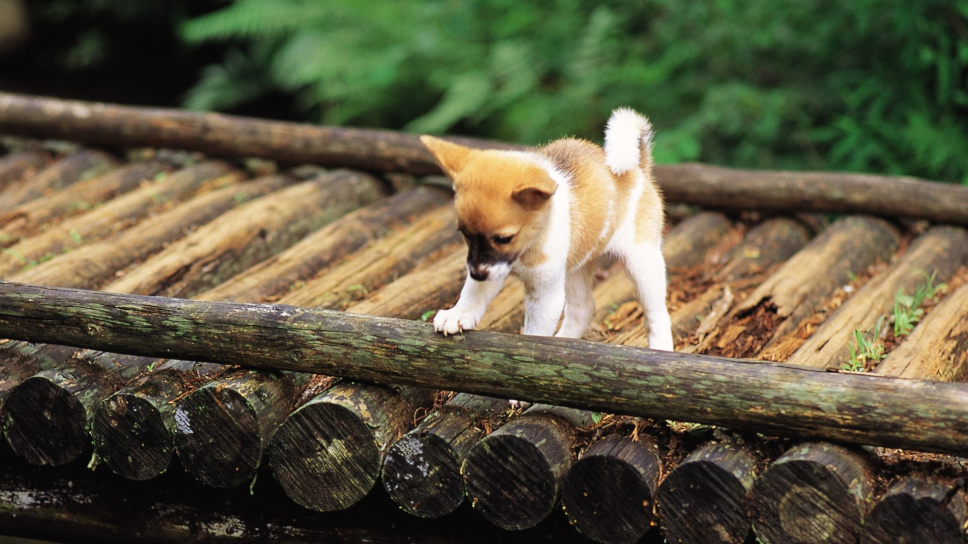 Cute Shiba Inu Puppy On A Bridge Lovely Puppies 1920x1080 Download 10wallpaper Com