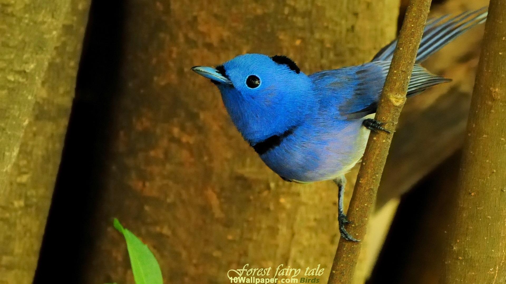 blue wizard bird black naped blue flycatcher bird wallpaper 01