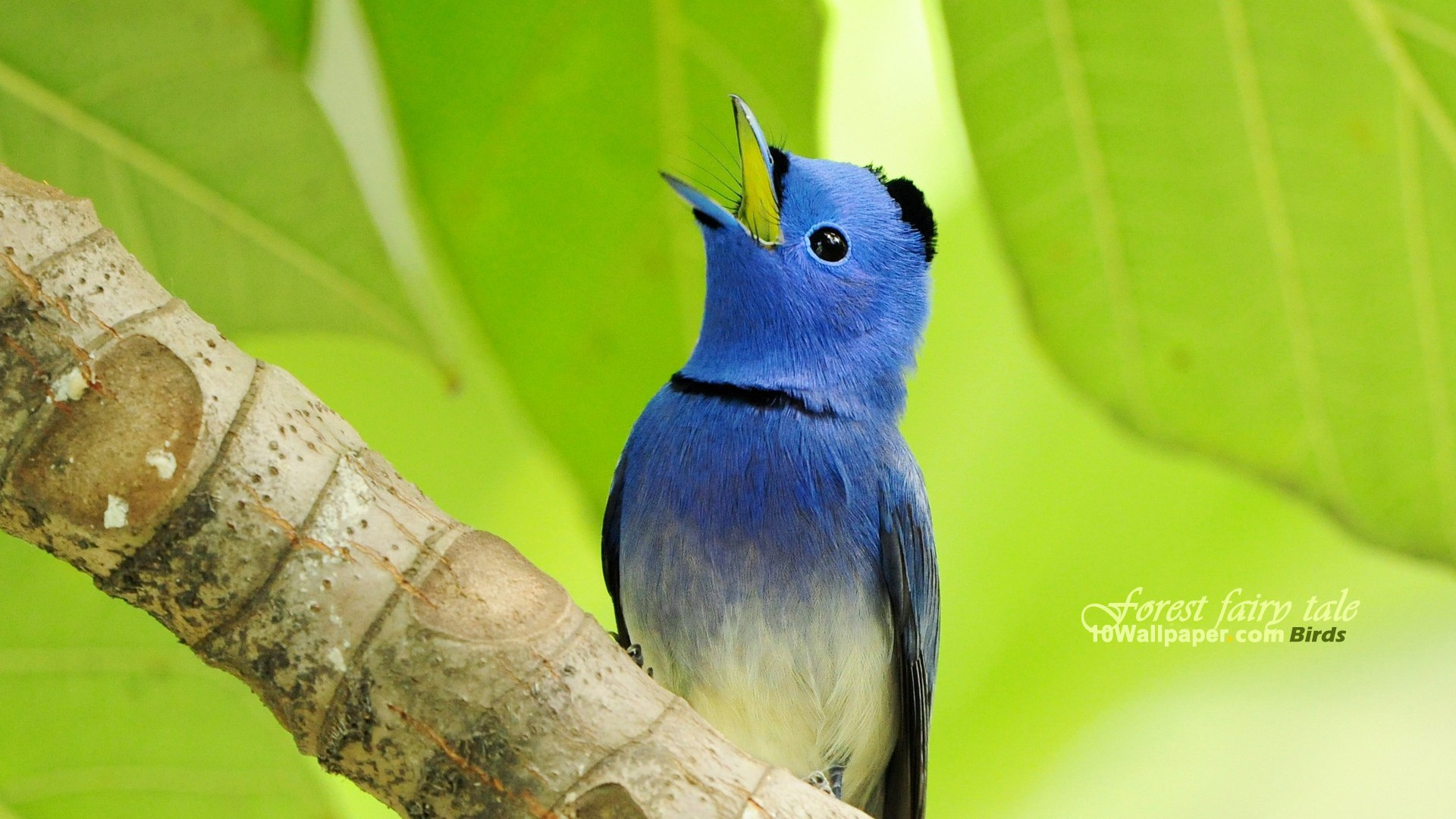 blue wizard bird black naped blue flycatcher bird wallpaper