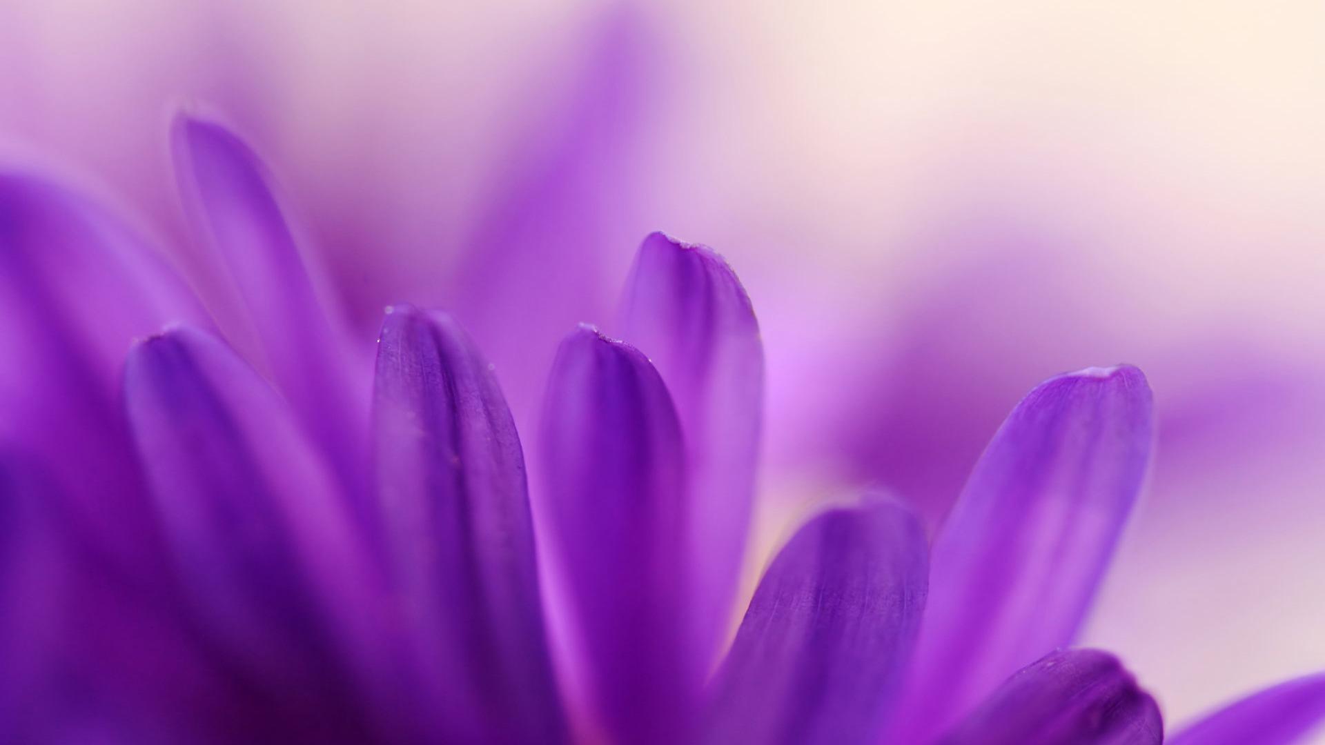 purple petals-Macro Flowers-1920x1080 Download ...