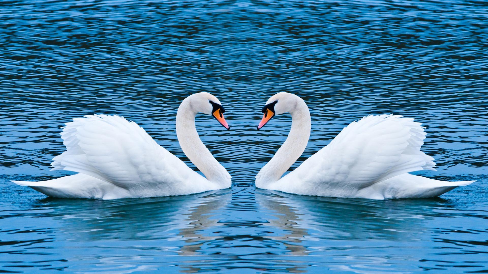 Deux Cygnes L Amour Fonds D 233 Cran Aper 231 U 10wallpaper Com