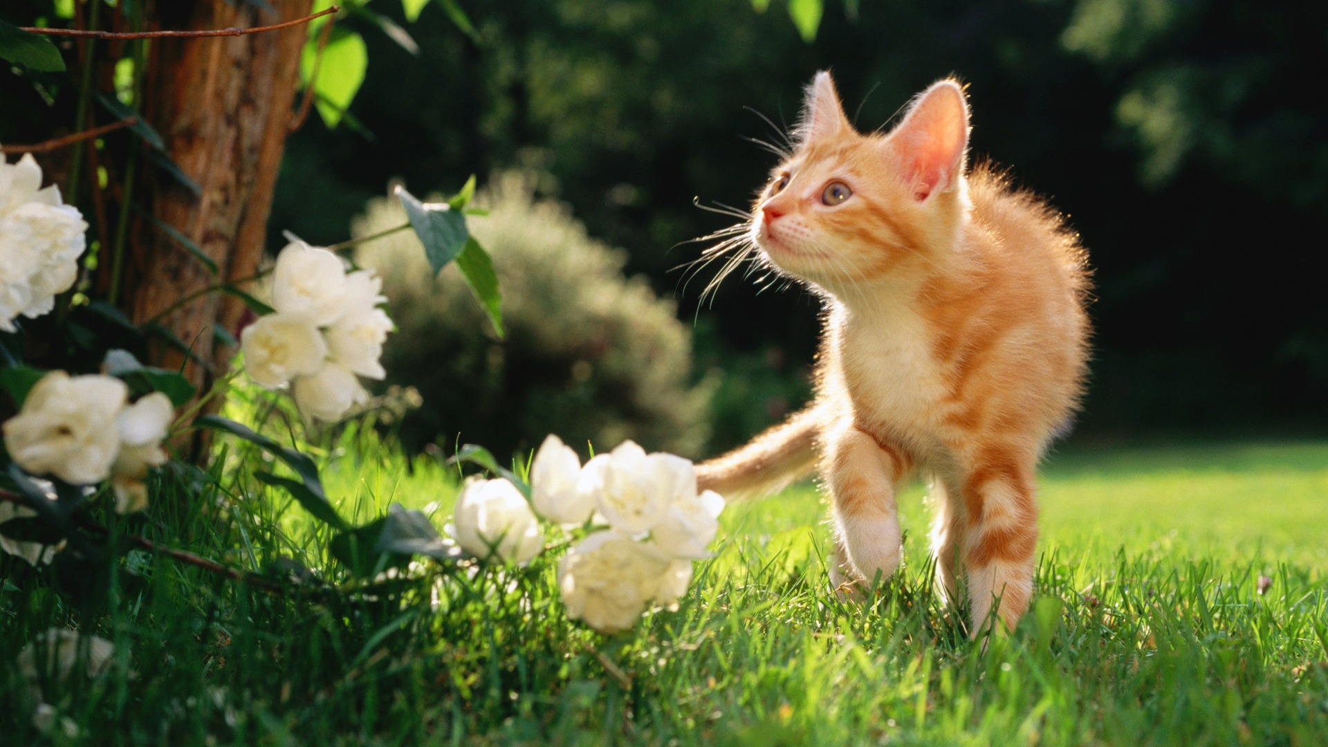 虎猫子猫 かわいいペットの猫のデスクトップピクチャ壁紙プレビュー