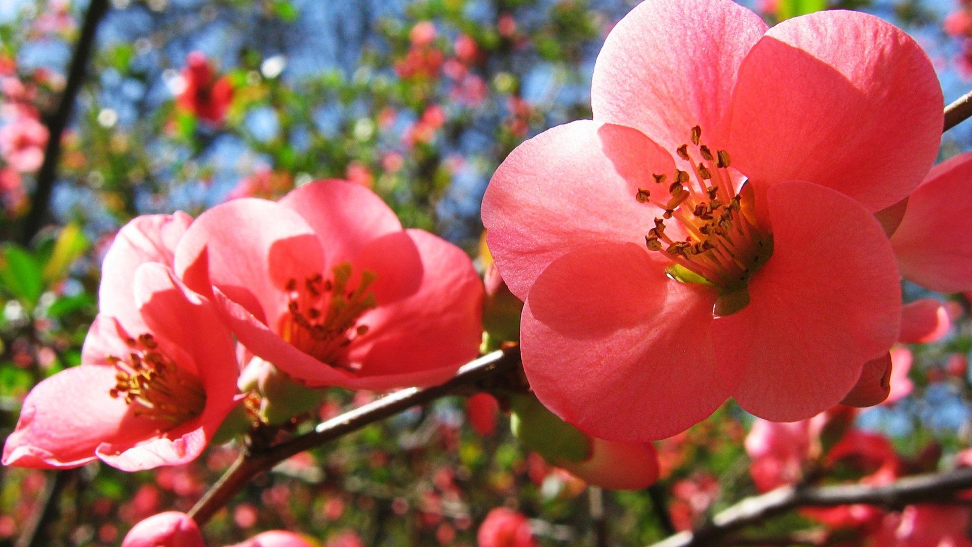 Fleurs de cerisier t fleurs fond d 39 cran 1920x1080 for Fond ecran ete fleurs