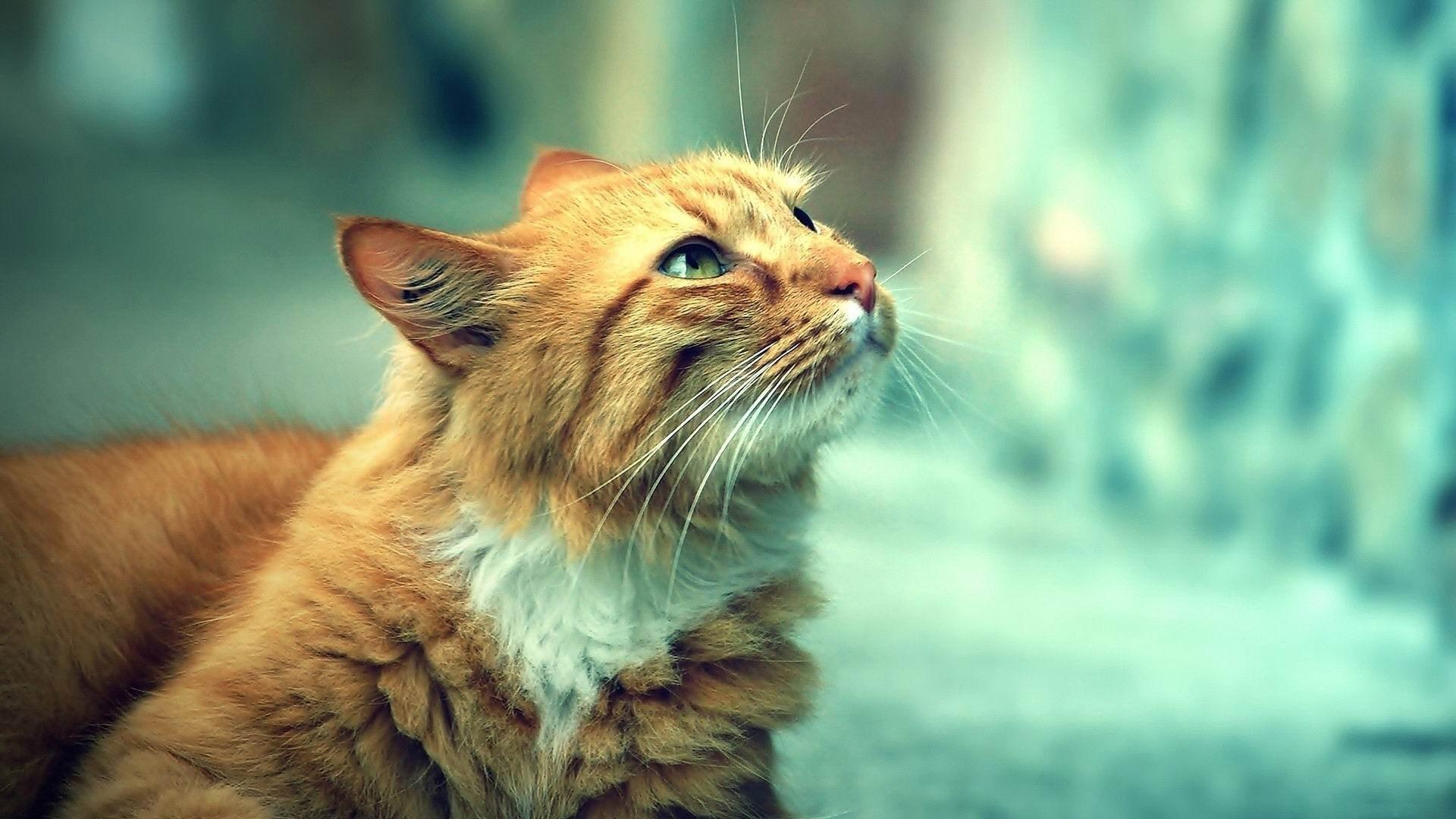 かわいいオレンジ色の猫 動物写真の壁紙プレビュー