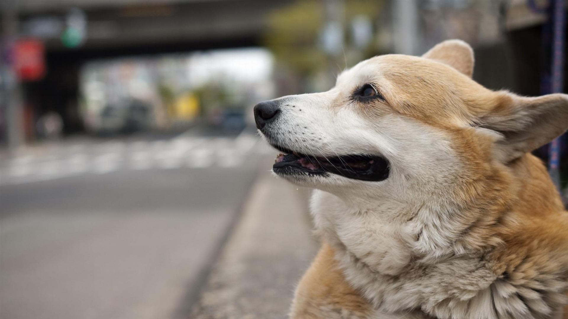 犬ウェルシュコーギー 動物の壁紙プレビュー 10wallpaper Com