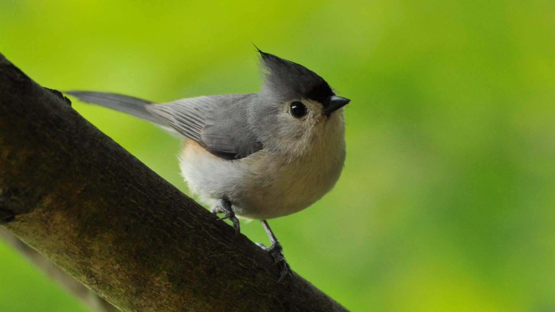 Paridae Tufted Titmouse-Birds animal wallpaper - 1920x1080