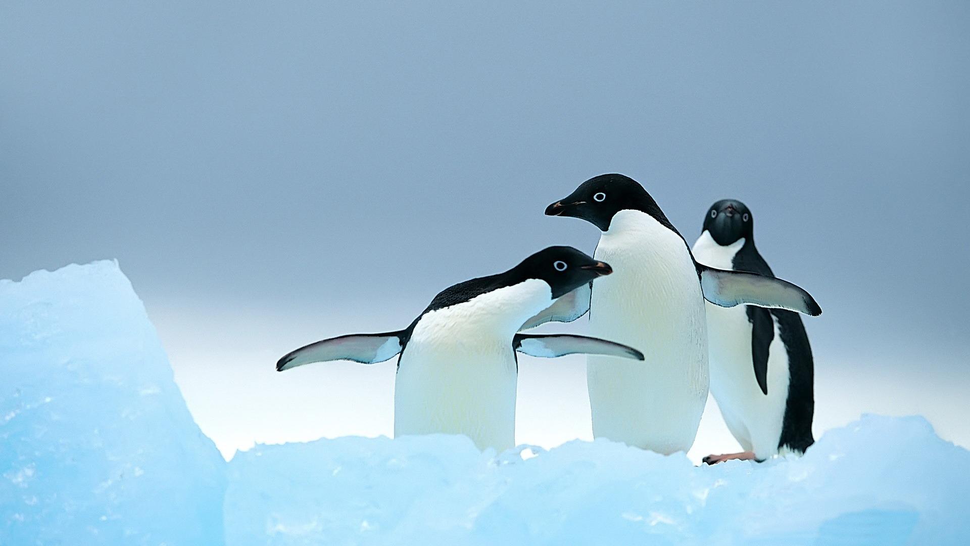 Animal Cute Penguins Wild Animals Photo Wallpaper