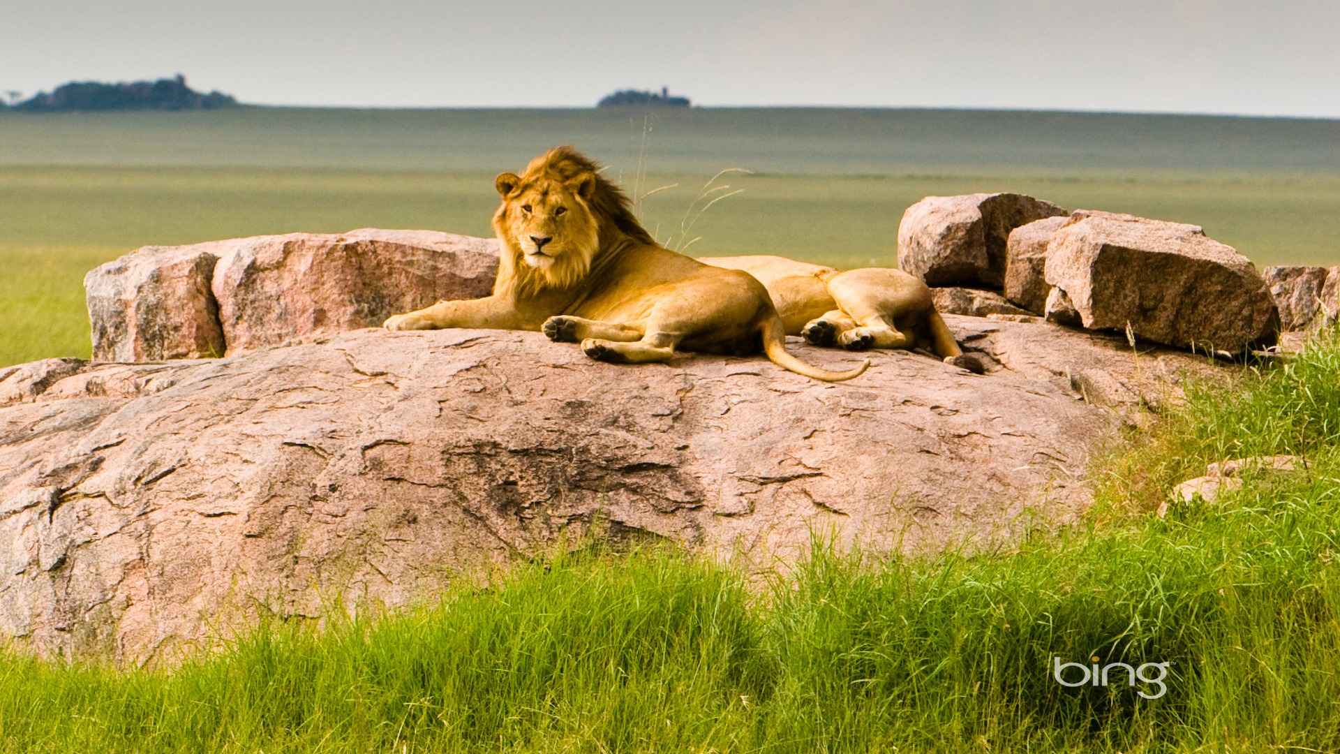 Serengeti Tanzania  city photo : Tanzania Serengeti National Park Lions Bing Wallpaper 1920x1080 ...